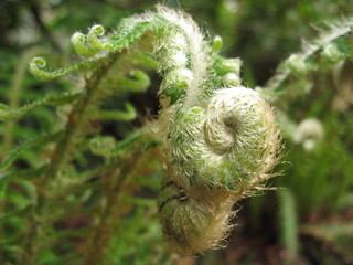 fiddleheads | by Swiss Chica