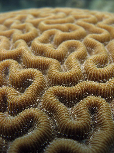 Brain Coral | by Chris.Gordon