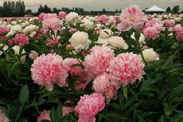 pink parfait peonies heaven on earth peony nursery o