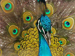 Vanity = Peacock | by dee_r