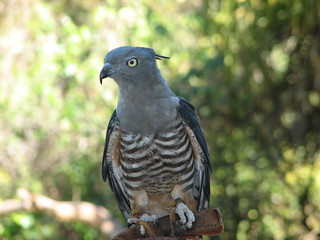 Crested Hawk (Pacific Baza) | by Stephen Michael Barnett