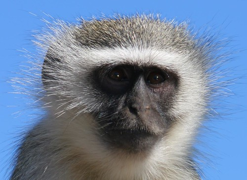vervet monkey portrait | by Scatterling2005