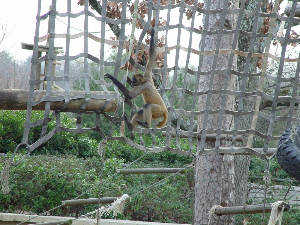 DSC01477 Spider Monkeys At Little Rock Zoo Arkansa Feb