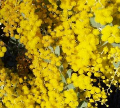 Golden Wattle up close | by Spikebot