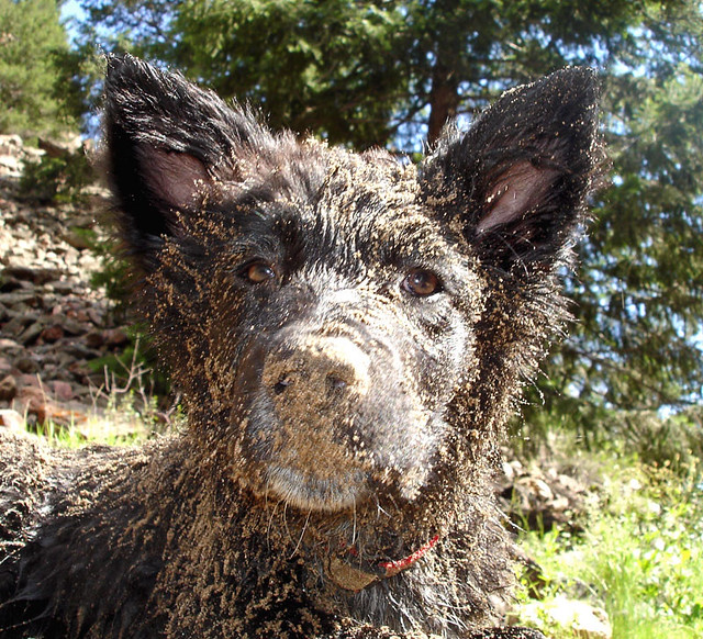 Dirty, dirty puppy, or wart hog?   dustjelly   Flickr
