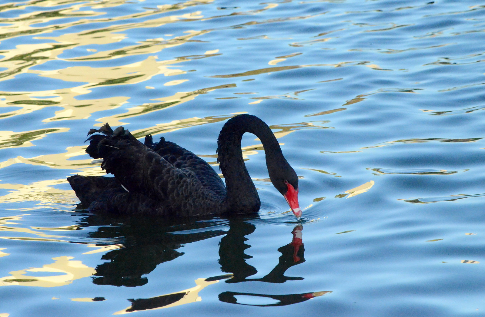Black Swan Theory | by Willow 2014