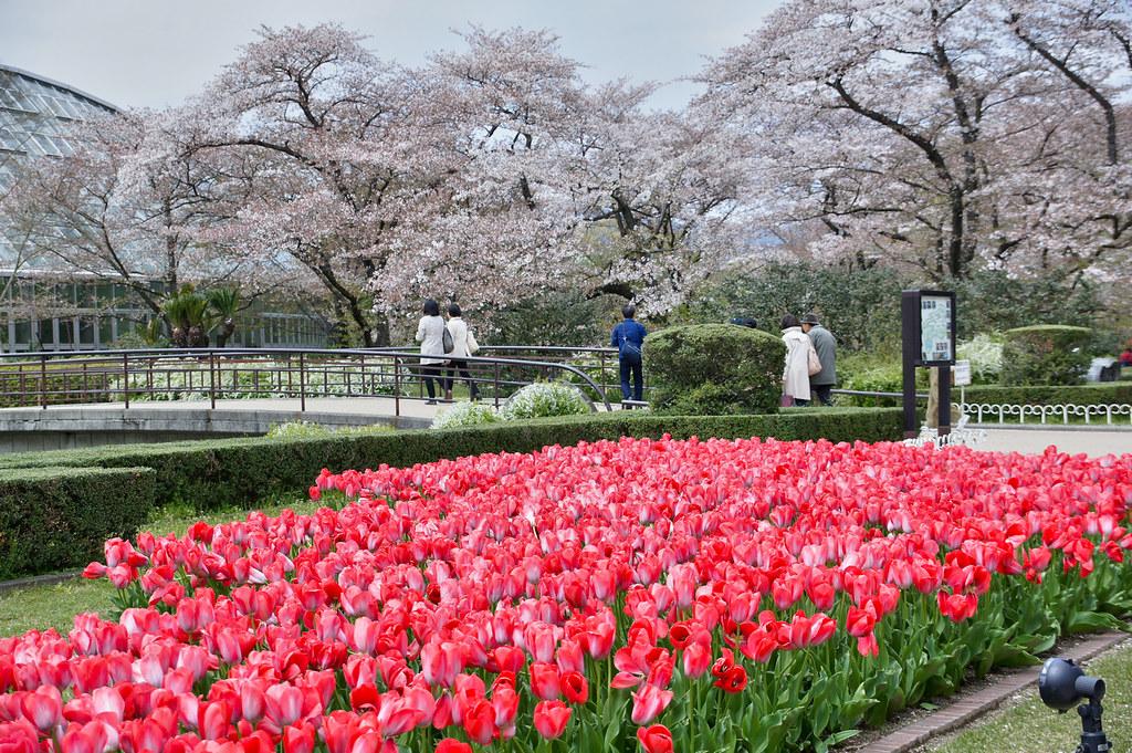 Kyoto Botanical garden - tulips and sakura trees