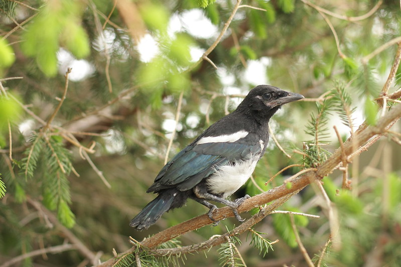 more juvenile magpies