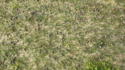 Seagrasses at Seringat-Kias