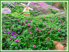 Assorted-coloured Petunias, scrambling down a hillside garden in Cameron Highlands, 29 Feb 2016