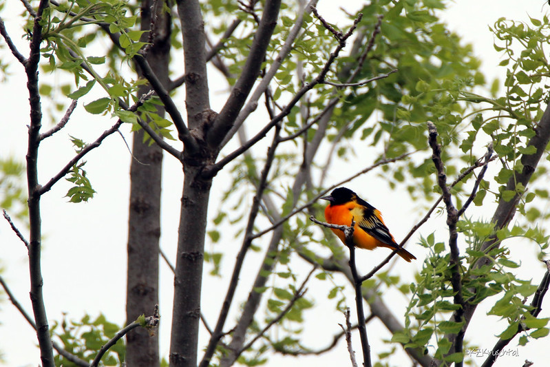 IMG_7800BaltimoreOriole