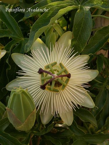 Passiflora 'Avalanche'