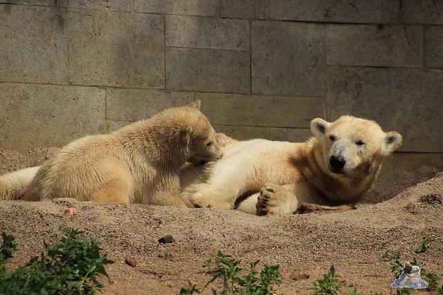 Eisbär Fiete im Zoo Rostock  203