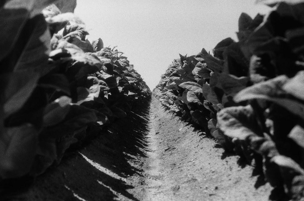 Campo de tabaco III.