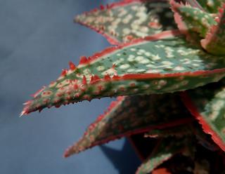 Aloe 'Donnie' 18588967276_4e12cbb0f0_n