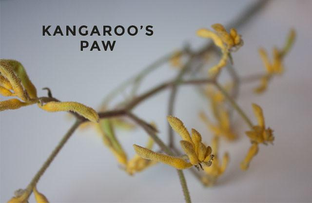 kangaroo's-paw-01