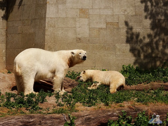 Eisbär Fiete im Zoo Rostock 20.06.2015  49