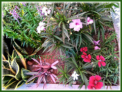 Outer garden bed, including the vibrant magenta Dianthus, March 15 2015