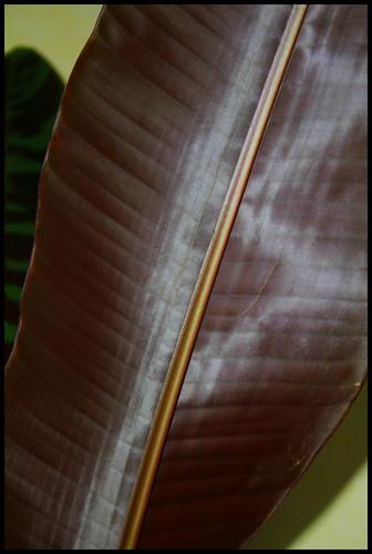 *musa* - Musa acuminata var. sumatrana - bananier de Sumatra 32122713894_e99d0a468d