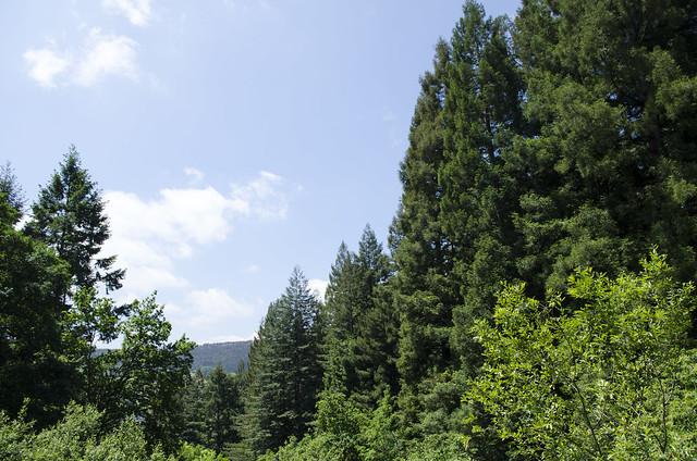 El bosque de secuoyas del Monte Cabezón