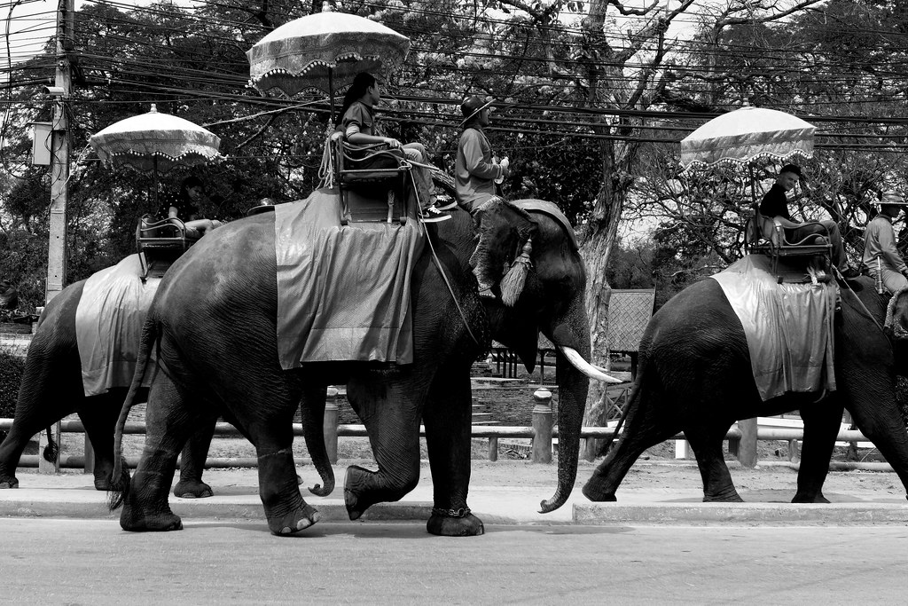 Thaïlande - Ayutthaya - 002 - Elephants