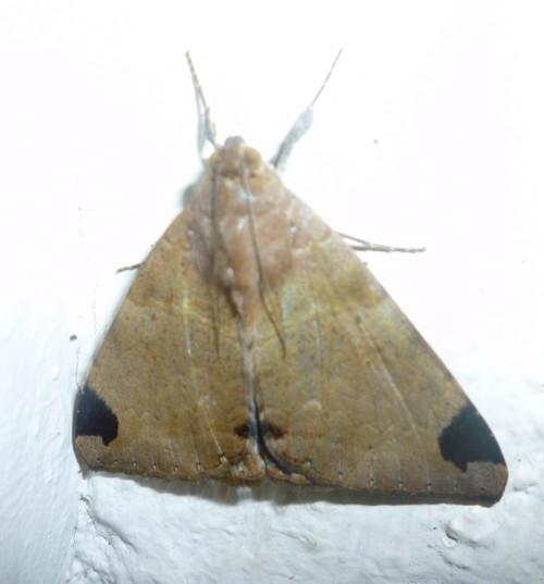 Achaea lienardi 18344917495_0c6d1acb45_o