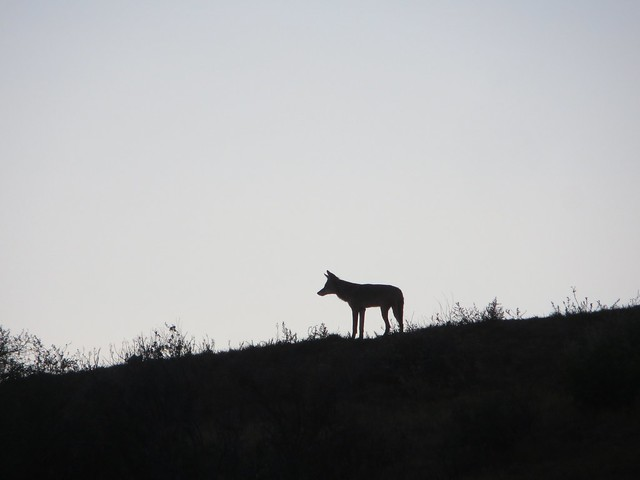 coyote dad scouts the area