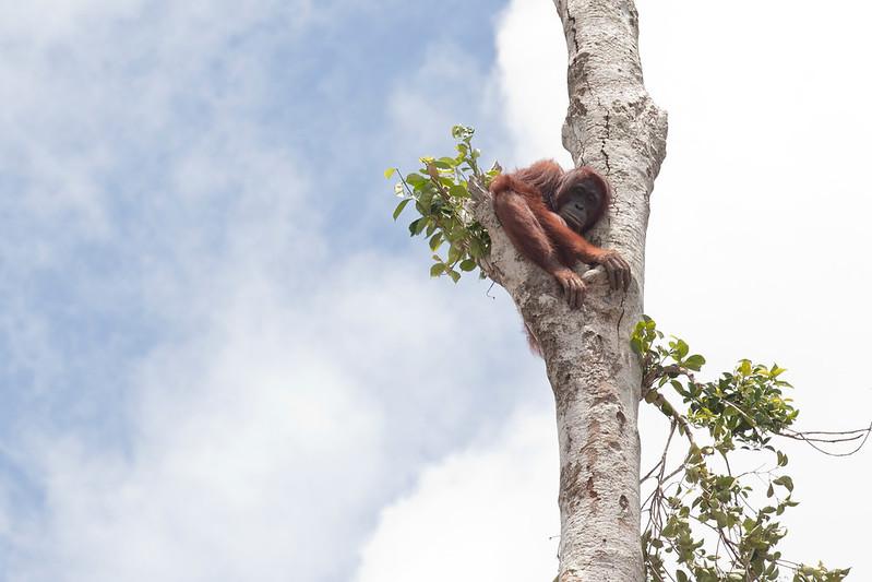 Orangutan in Lone Tree in West Kalimantan
