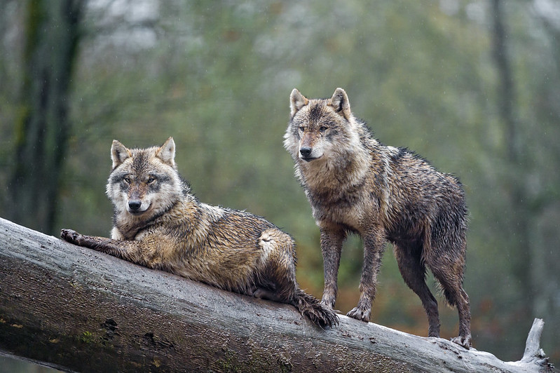 Two wolves posing on the log