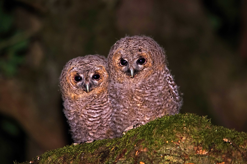 Baby Tawny Owls I Live In A Sleepy Village Called