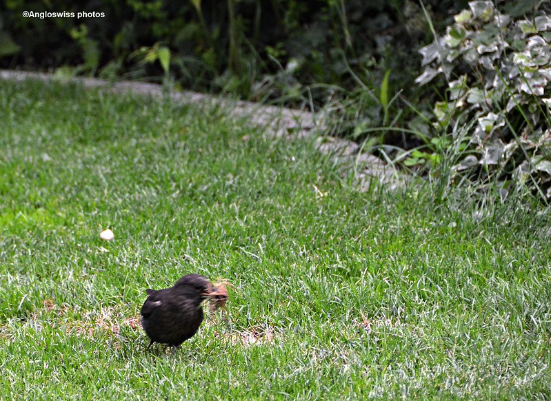 Blackbird gathering material for nest