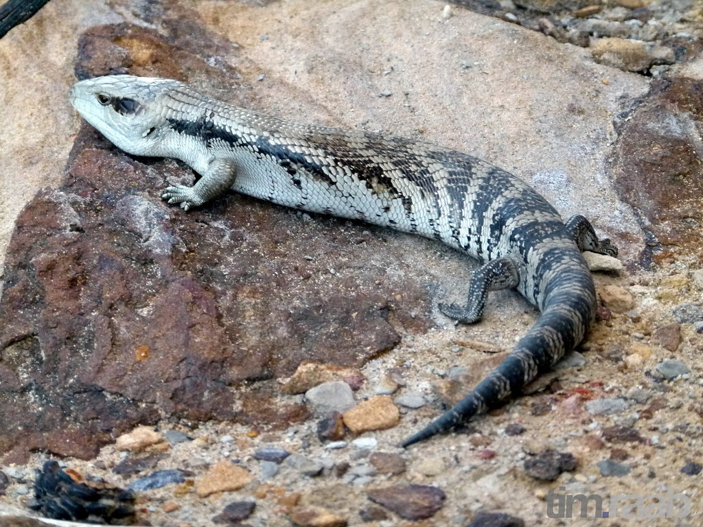 a description of the blue tongued skink Blue-tongued skinks -- fact sheet by alan beck & linda desmond t mustifaciata - centralian blue-tongued skink note: excellent photos in the hoser book-as well as description of the above species.