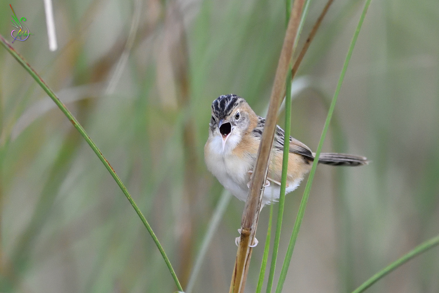 Golden-headed_Cisticola_7706