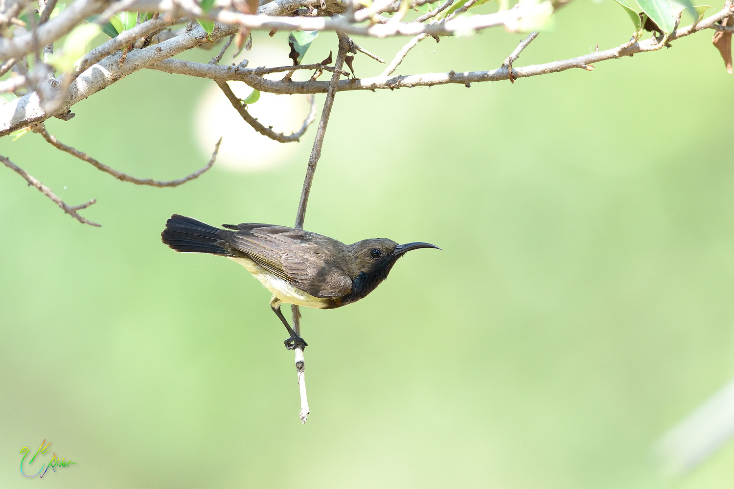 Olive-backed_Sunbird_9139