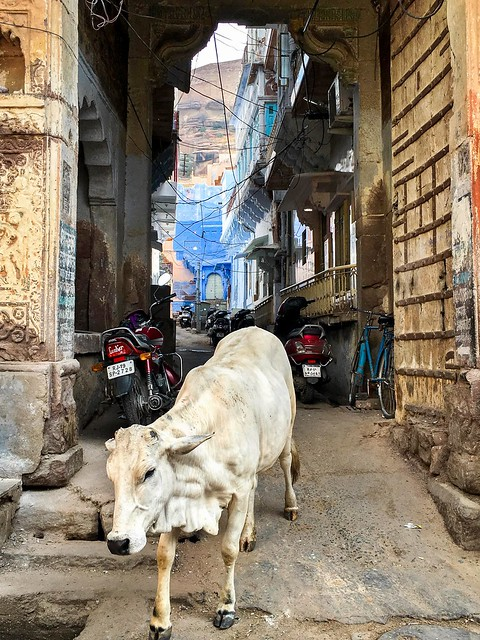 White cow walking in the street, Jodhpur, India ジョードプルの野良牛