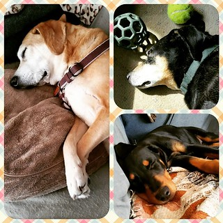 I was tagged by @wonderwhygal for #widn Watching my 3 kids snooze. It's my day off and we're having a lazy morning. #ilovemydogs #houndmix  #dobermanmix #coonhoundmix #puppiesofinstagram #dogsofinstagram #muttsofinstagram #adoptdontshop #rescueddogsofinst