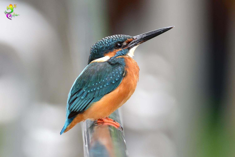 Common_Kingfisher_9508