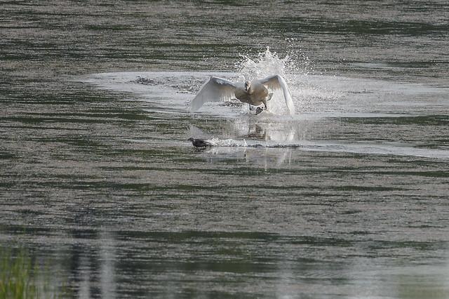Swan Incoming-44785.jpg