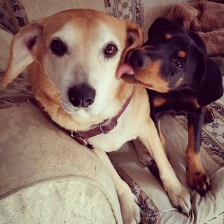 Sisterly love is the best ❤😊💜💋#dogsofinstagram #puppiesofinstagram #houndmix #dobermanmix #seniordog #instapuppy #rescuedpuppiesofinstagram #ilovemydogs #puppylove #dogkisses #instadog #muttstagram