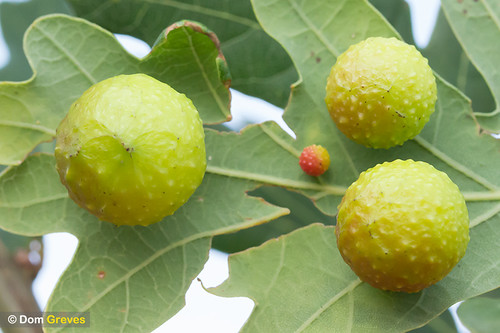 Oak Cherry Galls