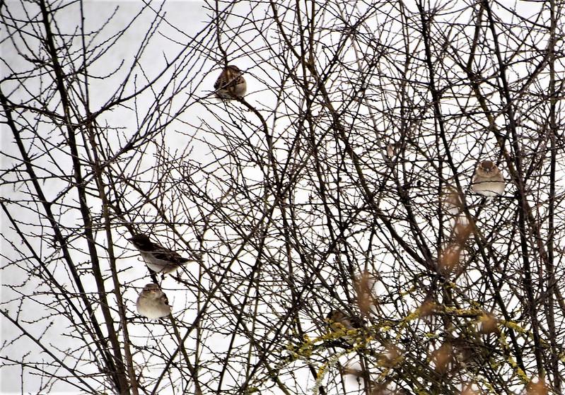 Sparrows 24.01 (4)