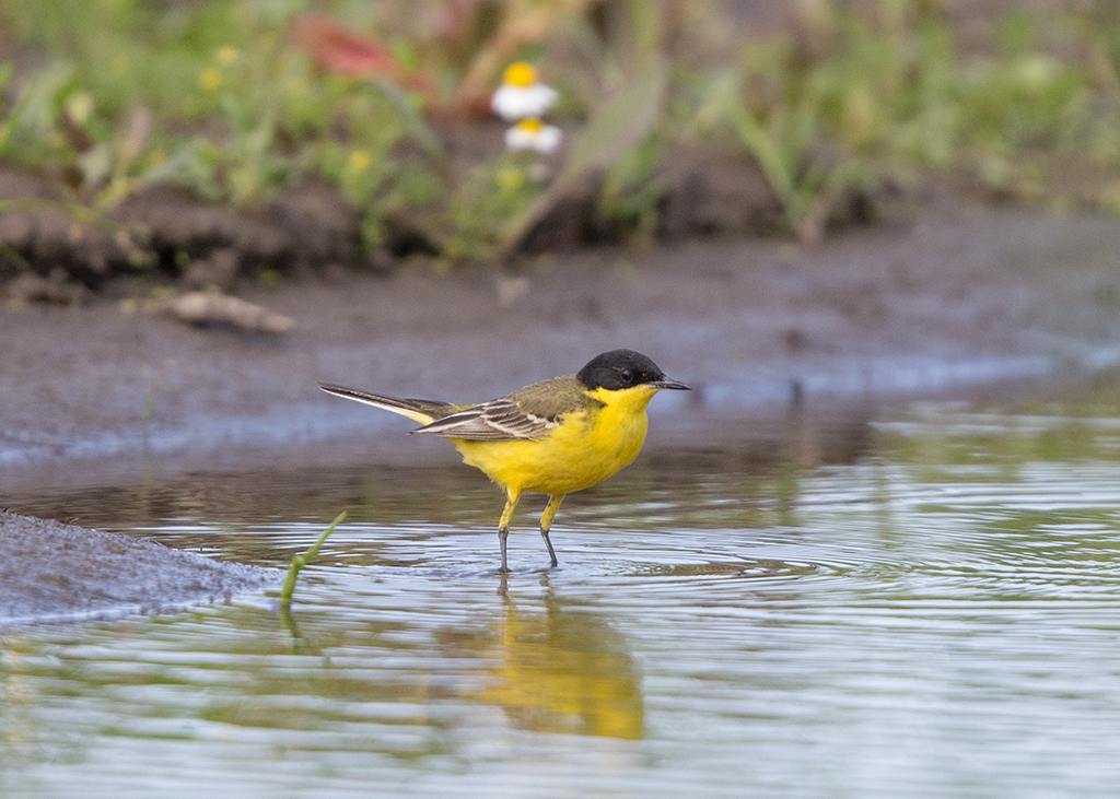 Yellow Wagtail   Bulgaria