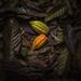 Cacao Fruits in Chocolate Farm, Malagos, Davao
