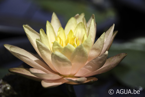 Waterlelie Siam Sunset / Nymphaea Siam Sunset