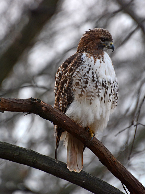 Riverside Red-Tail - 1024