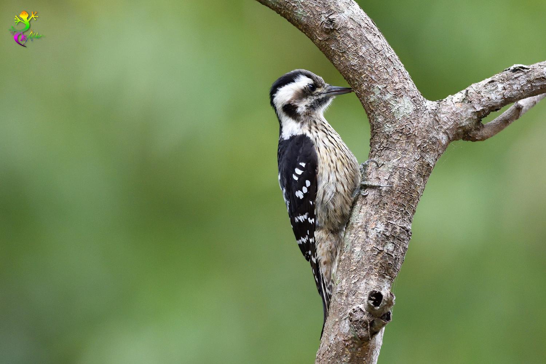 Grey-headed Pygmy Woodpecker_0537