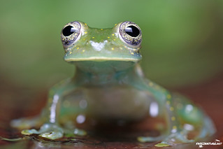 Cascade Glass Frog... Sachatamia albomaculata | by brick911