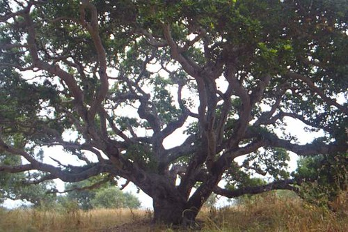California Live Oak | by Bill Ward's Brickpile