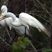 Great Egrets building their nest!