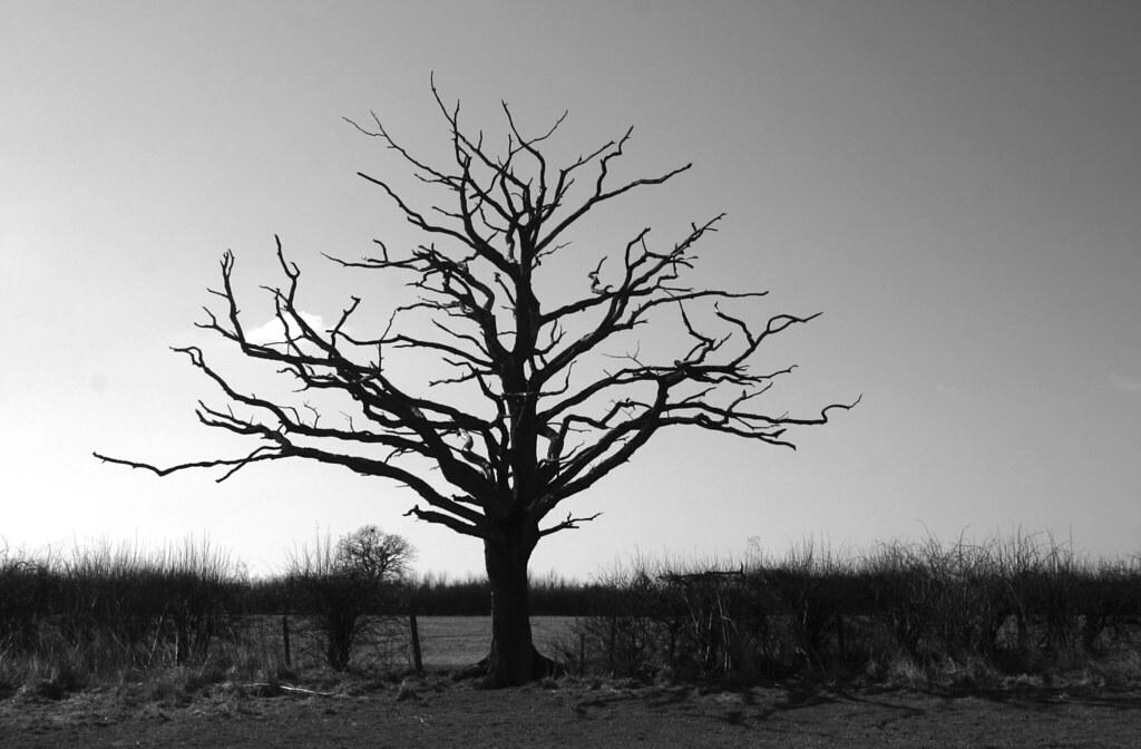 Old Dead Tree  Murburger01 Flickr